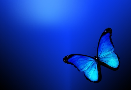 blue butterfly: Blue butterfly on dark blue background