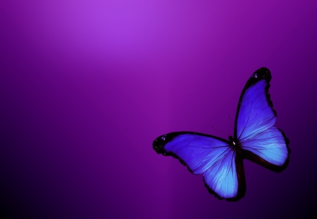 Violet butterfly on dark violet background Stock Photo - 13584717