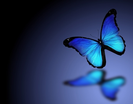colorful butterfly: Morpho blue butterfly on dark blue background