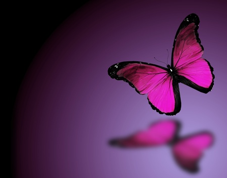 black and blue butterfly flying: Morpho violet butterfly on dark violet background