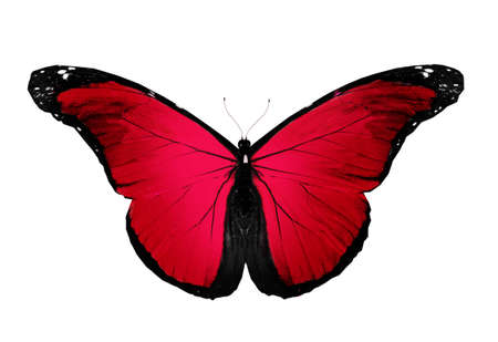 papillon rose: Rouge papillon volant, isolé sur blanc