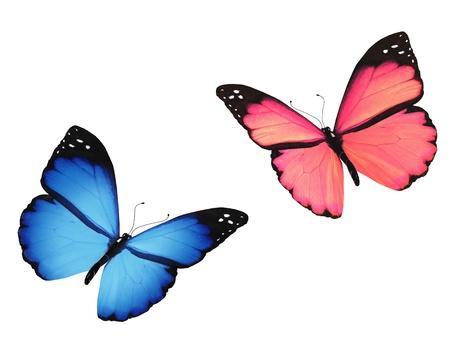 donna farfalla: Farfalla rosa e blu, isolato su sfondo bianco