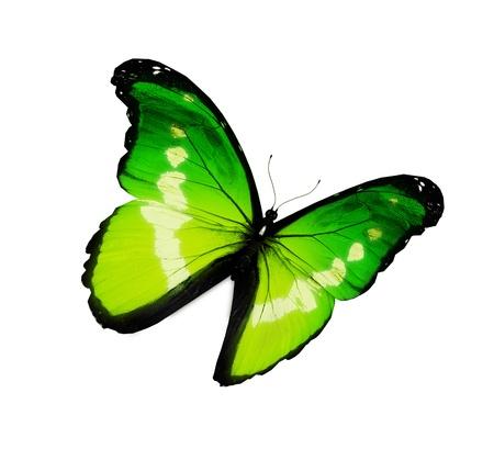 helena: Morpho helena butterfly flying , isolated on white