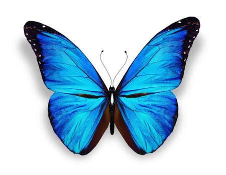 mariposa azul: Mariposa azul, aislados en fondo blanco
