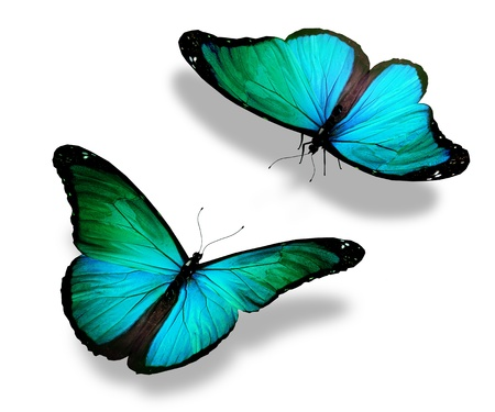 morpho: Two turquoise butterflies, isolated on white background, concept of meeting