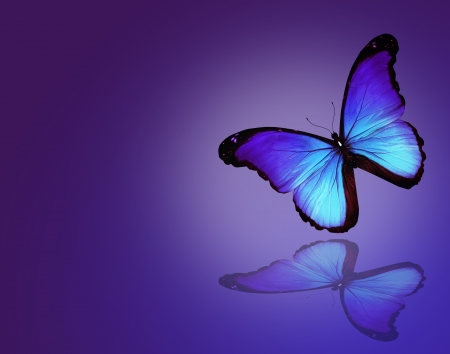 Morpho blue butterfly on dark blue background photo