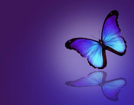 mariposa azul: Morpho mariposa azul sobre fondo azul oscuro