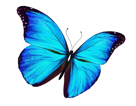 butterfly flying: Blue butterfly flying, isolated on white background Stock Photo