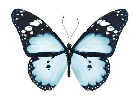 black and blue butterfly flying: Blue butterfly, isolated on white