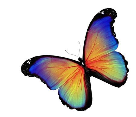 mariposas volando: Mariposa azul amarillo sobre fondo blanco Foto de archivo