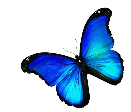 mariposa azul: Mariposa azul sobre fondo blanco Foto de archivo