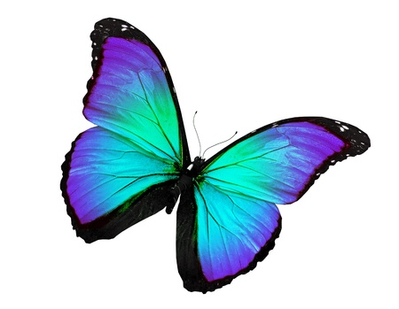 Turquoise butterfly flying, isolated on white background photo