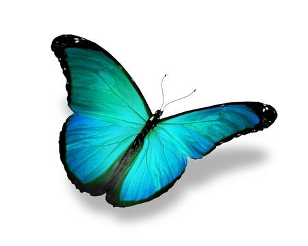 azul turqueza: Azul turquesa mariposa, aislado en fondo blanco
