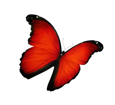 bright red: Red butterfly flying , isolated on white Stock Photo