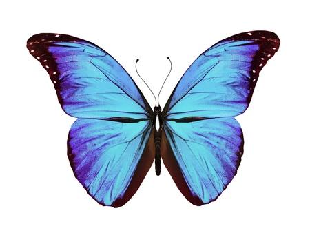 mariposa azul: Mariposa azul de vuelo, aisladas sobre fondo blanco
