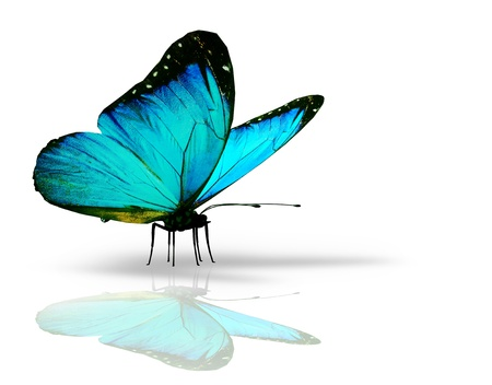 butterfly flying: Turquoise butterfly on white background