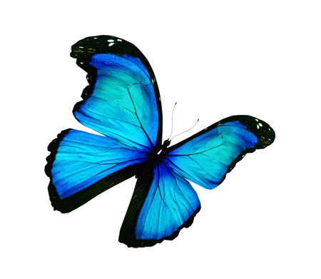 Morpho turquoise butterfly , isolated on white photo