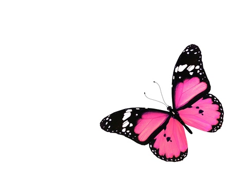 Pink butterfly flying, isolated on white