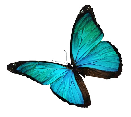 Morpho turquoise butterfly , isolated on white Stock Photo - 14632233