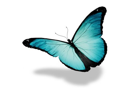 black and blue butterfly flying: Light blue butterfly flying, isolated on white background