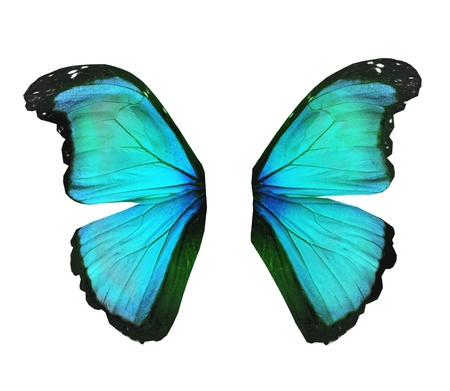 black and blue butterfly flying: Wings of morpho turquoise butterfly , isolated on white Stock Photo