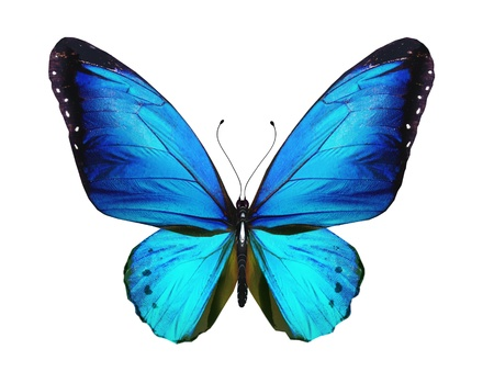 morpho: Blue butterfly, isolated on white background