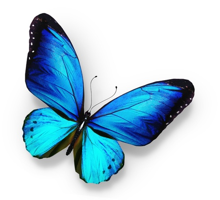 black and blue butterfly flying: Blue butterfly , isolated on white
