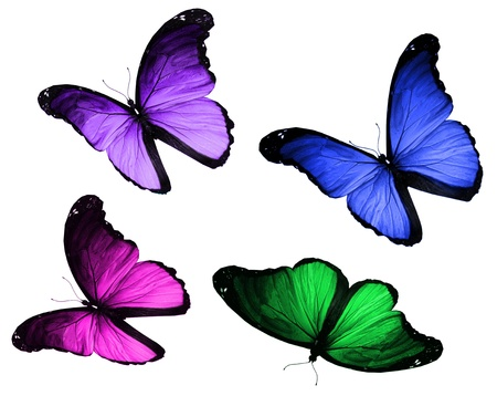 Four morpho butterflies flying, isolated on white background photo