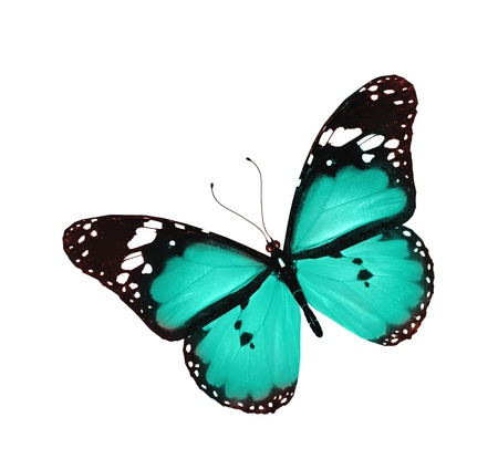 mariposa azul: Mariposa azul de vuelo, aislado en blanco