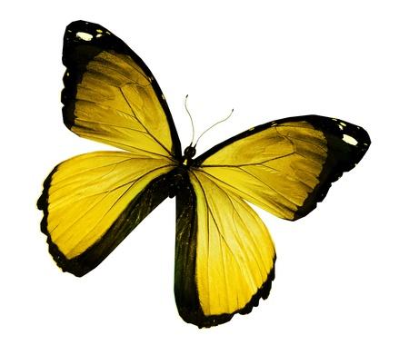 黄色モルフォ蝶、白で隔離されます。