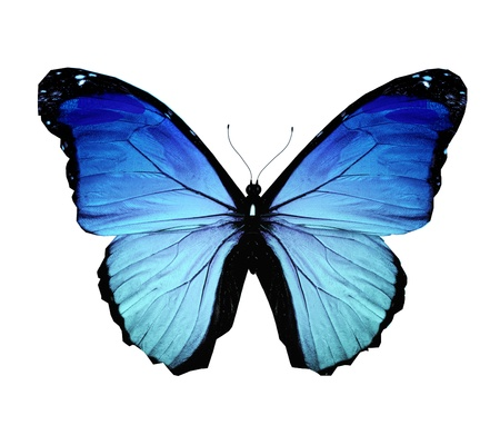 mariposa azul: Morpho azul mariposa, aislado en blanco Foto de archivo