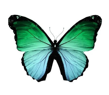 mariposa verde: Morpho mariposa verde, aislado en blanco