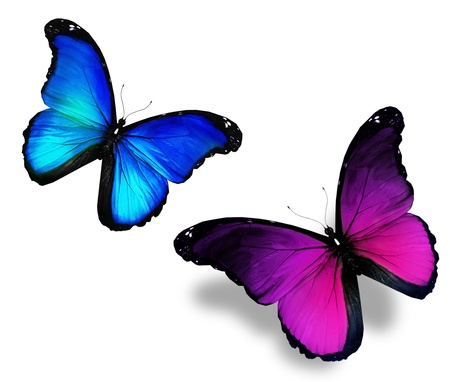 butterflies flying: Due farfalle viola blu su sfondo bianco