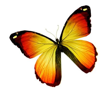 mariposas amarillas: Morpho mariposa de color naranja, aislado en blanco Foto de archivo