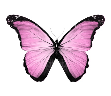 black and blue butterfly flying: Morpho pink butterfly , isolated on white
