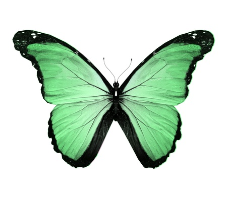 Morpho green butterfly , isolated on white Stock Photo - 14961030