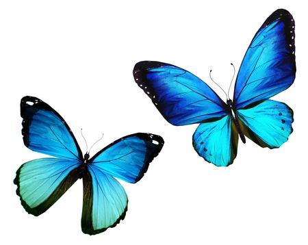 mariposa azul: Dos mariposas volando, aislado sobre fondo blanco