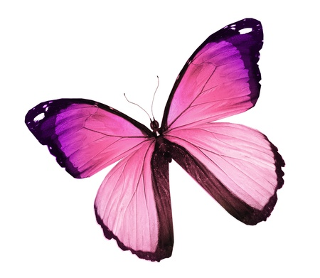 Morpho papillon rose, isolé sur blanc