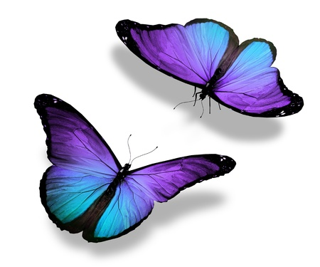 morpho: Two violet butterflies, isolated on white background, concept of meeting