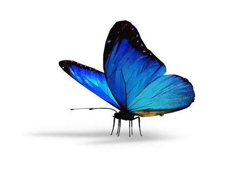 butterflies flying: Farfalla blu su sfondo bianco
