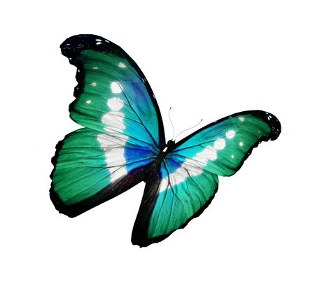 Morpho green butterfly flying , isolated on white photo