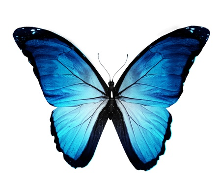white butterfly: Morpho blue butterfly , isolated on white Stock Photo