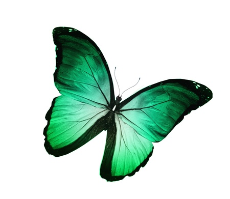 Green turquoise butterfly , isolated on white photo