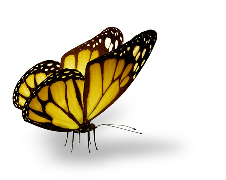 Yellow butterfly , isolated on white photo