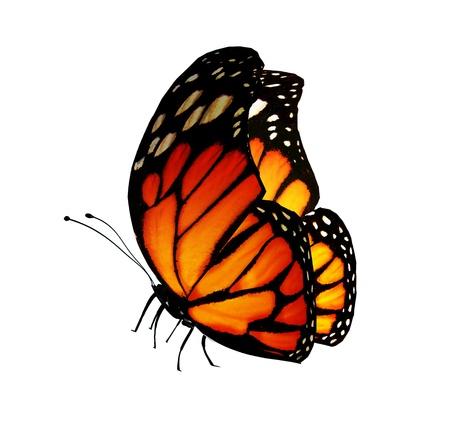 白で隔離され、オレンジ色の蝶