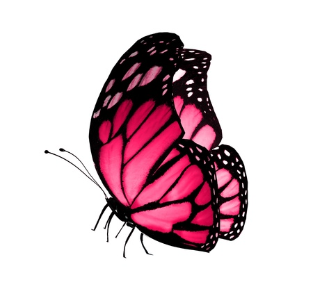 colorful butterfly: Pink butterfly , isolated on white