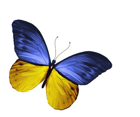 Yellow blue butterfly, isolated on white background photo