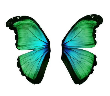 Wings of morpho green butterfly , isolated on white photo