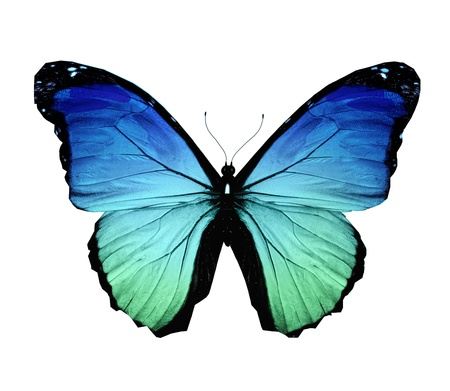 black and blue butterfly flying: Morpho blue butterfly , isolated on white Stock Photo