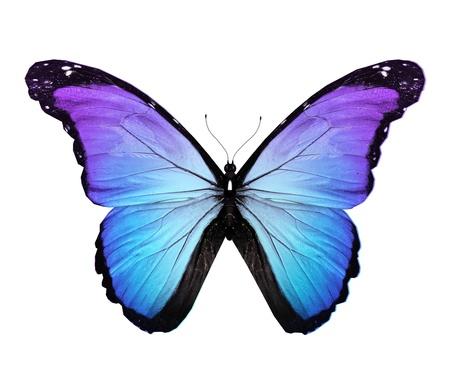 Morpho bleu papillon, isolé sur blanc Banque d'images